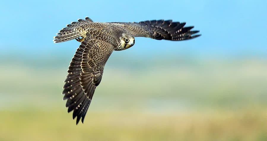 Peregrine Falcon in Flight against a Blue Sky